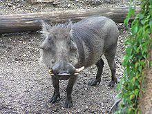 Origen de los cerdos.