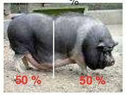 Cerdos en evolución