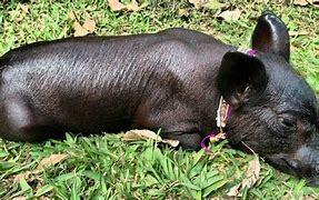 Cerdo Pelón Mexicano