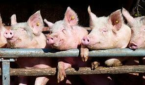 Los Inicios de la Porcicultura Mexicana