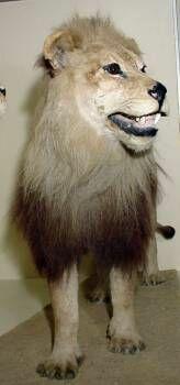 El León del Cabo.