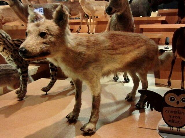El Lobo Japonés.