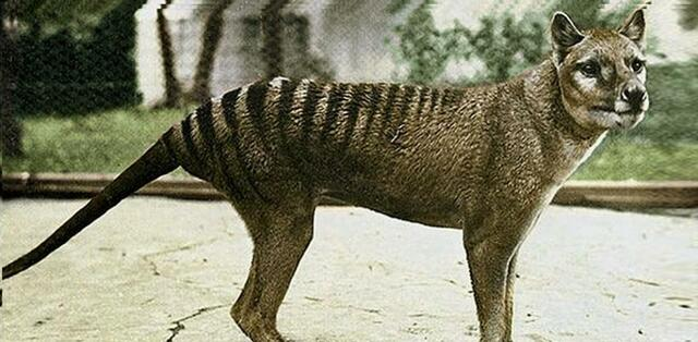 Lobo de Tasmania o Tilacino.