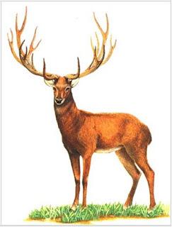 El Ciervo de Schomburgk.