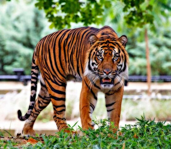 El Tigre de Java.
