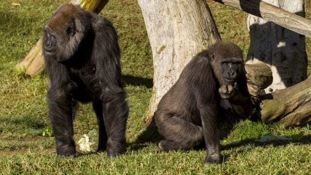 Two gorillas at a California zoo, test positive for Covid-19