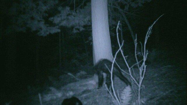 Bigfoot at Night