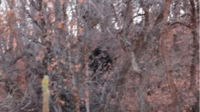 Bigfoot on the Trail