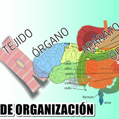 NIVELES DE ORGANIZACIÓN DEL CUERPO HUMANO timeline