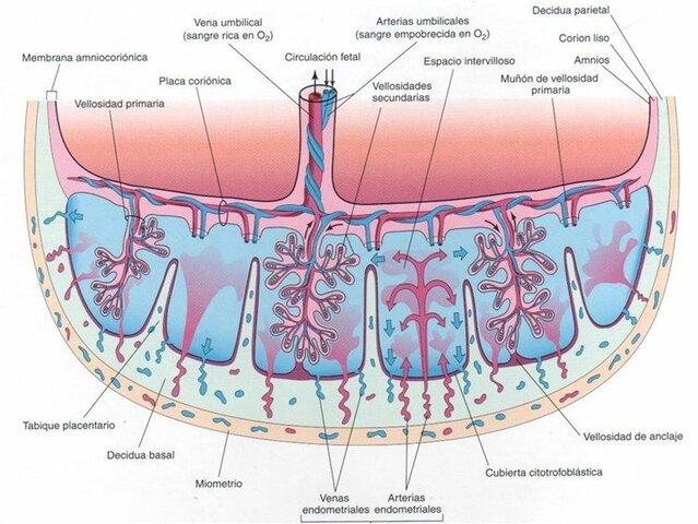 Consecuencias fisiopatológicas fetales;