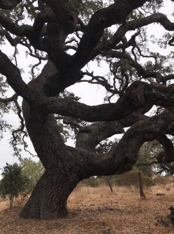 [Personal] Oak at Arastradero Preserve