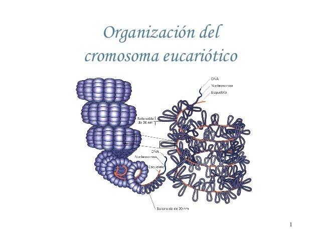 Cromosoma eucariota artificial