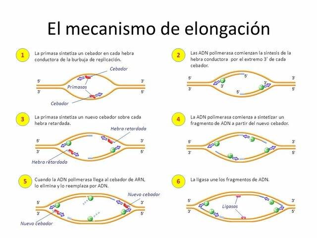 Elongación de los cromosomas
