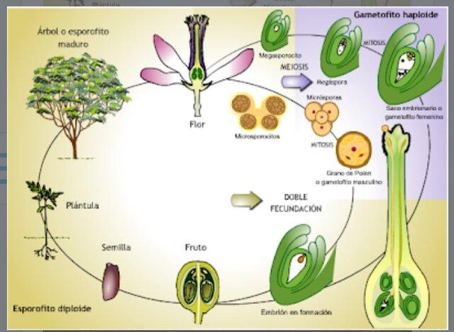 Reproduccion sexual en las plantas.