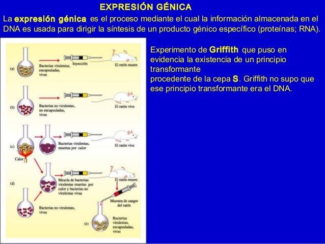 Primer experimento de génica