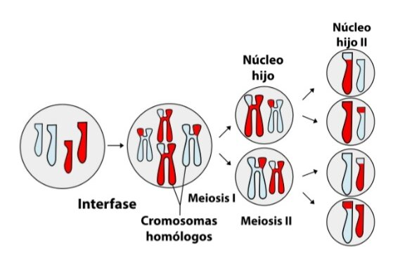 Cromosomas en la meiosis