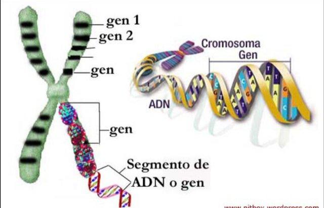Relacion entre genes y cromosomas