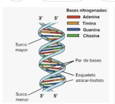 JamesWatson y Francis Crick descubren como esta hecha la molecula de ADN.Con forma de doble hélice