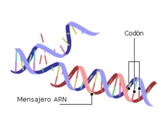 Se descubre el mRNA (ARN mensajero)