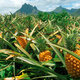 Crop pineapple