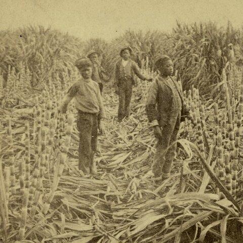 Cubans distroying sugar canes