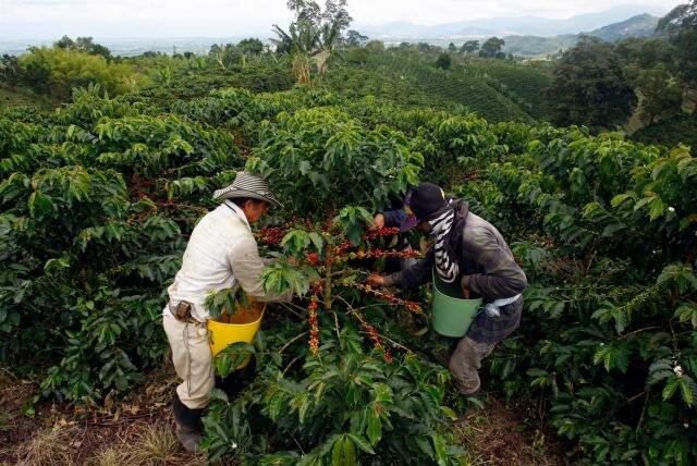 Bonanza cafetera y mercado de drogas