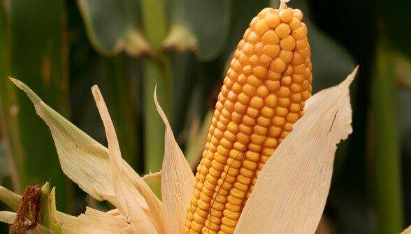 Comercialización de híbridos de maíz