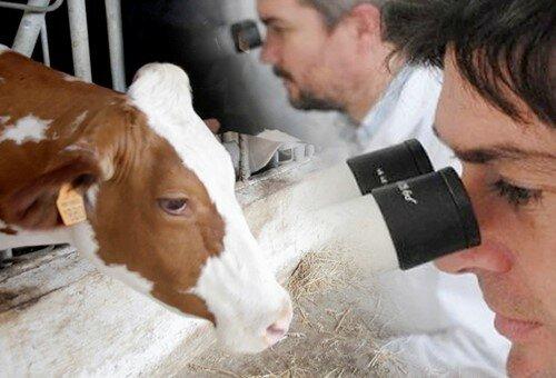 Primera vaca transgénica