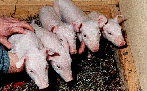 Avances en la clonación de animales