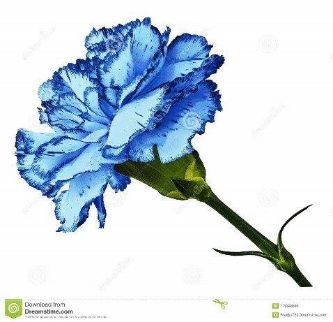 Colombia comienza a cultivar el clavel azul