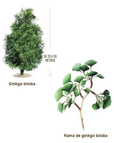 Gymnosperm plant domain