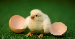 3 hét után az egyik kiscsibe megtörte a tojást