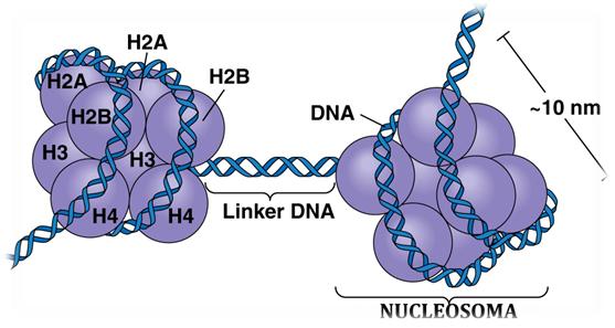 Estructura de la cromatina, nucleosoma