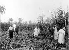 Cubans destroying sugar canes