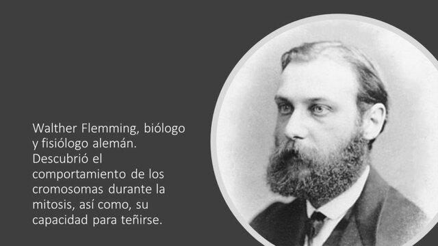 Cromosomas en la mitosis. Walther Flemming (1843-1905).