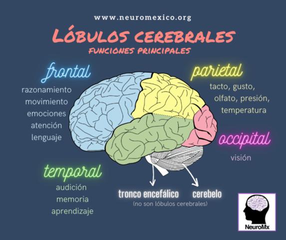 Áreas y lóbulos cerebrales