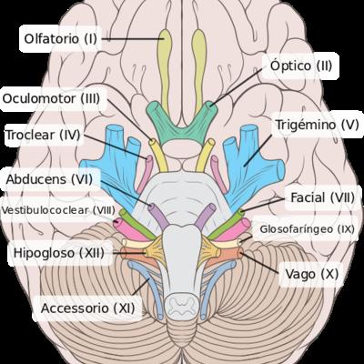Nervios Craneales timeline