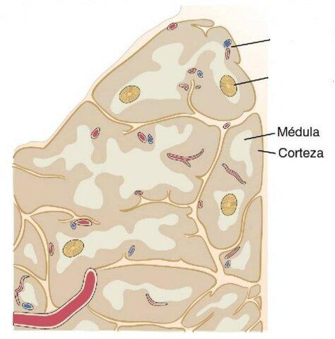 Linfocitos con doble positividad migran hacia la médula.
