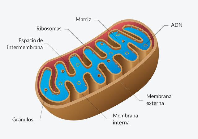 Se identifican las mitocondrias