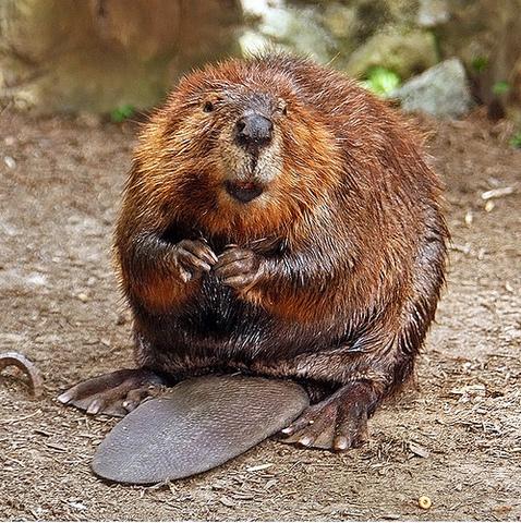 Beaver Economy Gained Strength