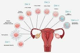 Implantation: Day 7-8
