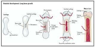 Musculoskeletal System Development: Day 20