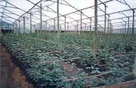 Surgimiento de la Industria de las Rosas en Ecuador