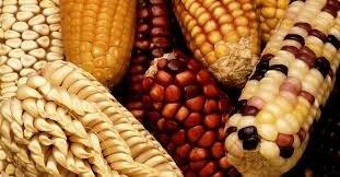Creación de los primeros organismos genéticamente modificados o transgénicos