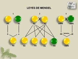 Leyes de Gregor Mendel.