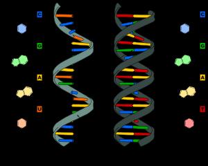 Ácido Nucleico. Richar Altman