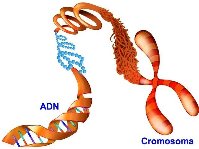 Cromosomas como portadores de genes, Thomas Hunt Morgan.