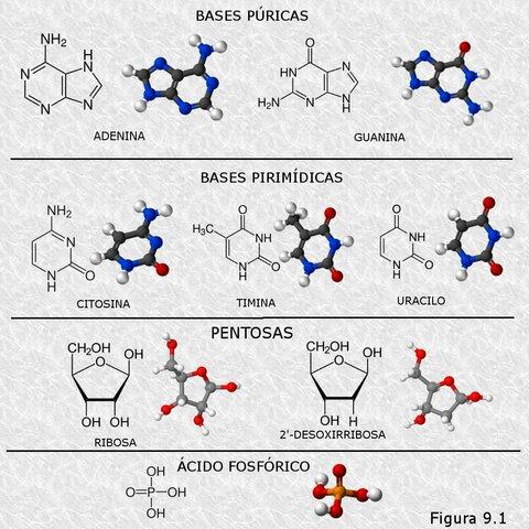 Identificación de los componentes de los ácidos nucleicos. Phoebus Levene