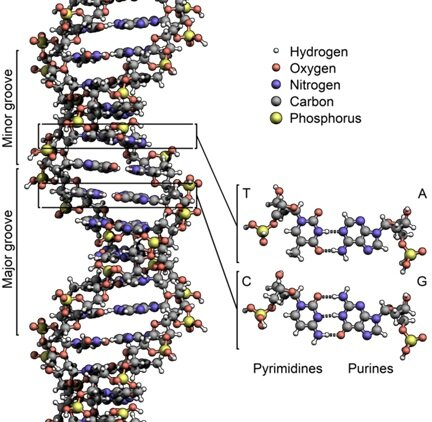 El ADN como un polímero. Torbjorn Caspersson y Einar Hammarsten