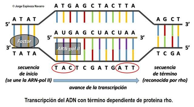Hipotesis un gen, una enzima. George Wells Beadle y Edward Lawrie Tatum